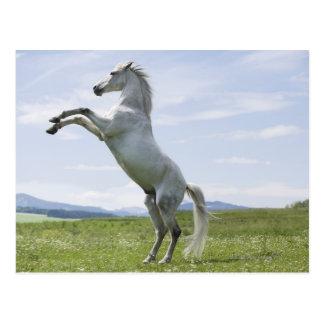 Cartão Postal cavalo branco que salta no prado
