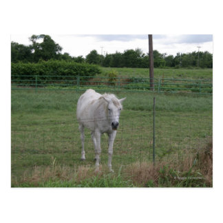 Cartão Postal Cavalo branco velho