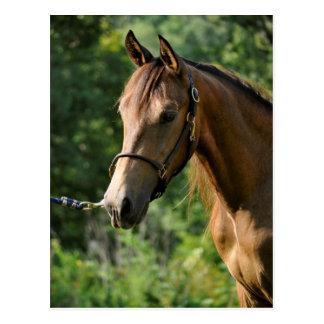 Cartão Postal Cavalo de Morgan do Buckskin