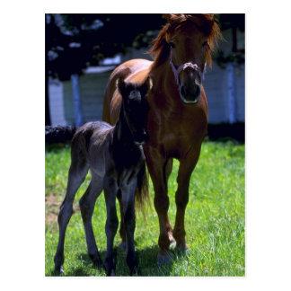 Cartão Postal Cavalo e potro