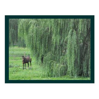 Cartão Postal Cavalo e um salgueiro