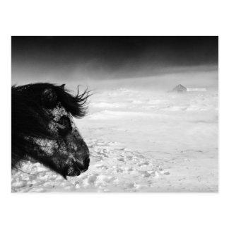 Cartão Postal Cavalo islandês na região selvagem do inverno