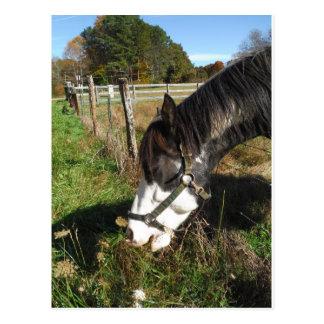 Cartão Postal Cavalo pintado, comendo a flor do laço da rainha