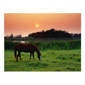 Cartão Postal Cavalo que pasta no campo no por do sol perto de