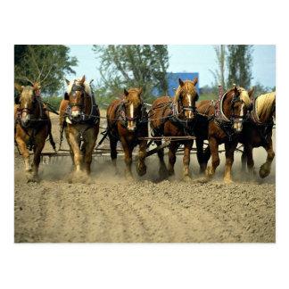 Cartão Postal Cavalos belgas que aram, six-up, fazenda da parte