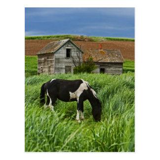 Cartão Postal Cavalos da visão em um campo no Palouse 2