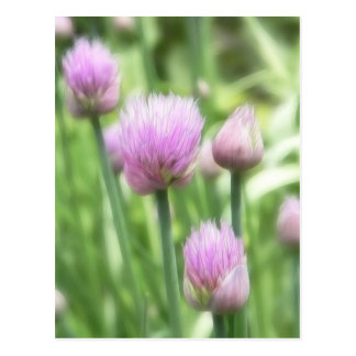 Cartão Postal Cebolinho de florescência