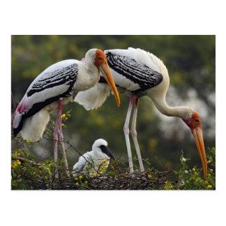 Cartão Postal Cegonhas & jovens pintados um no ninho, Keoladeo