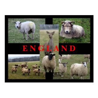 Cartão Postal Cenas inglesas dos carneiros
