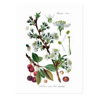 Cartão Postal Cerasus vulgar (cereja)