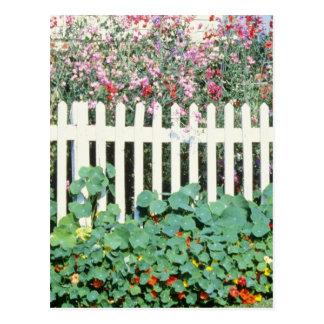 Cartão Postal Cerca de piquete com ervilhas doces e chagas