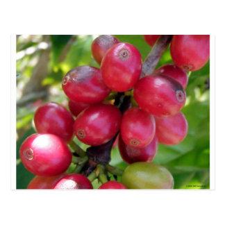 Cartão Postal Cerejas do café