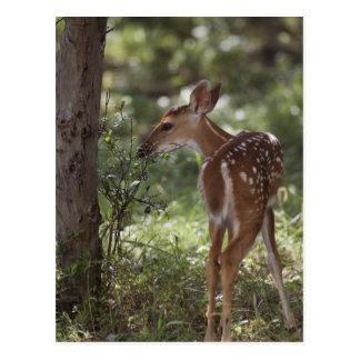 Cartão Postal cervos Branco-atados, virginianus do Odocoileus, 2