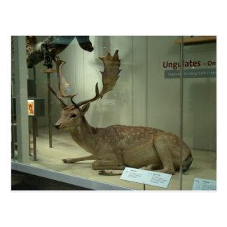 Cartão Postal Cervos de Fallow (dama do Dama)