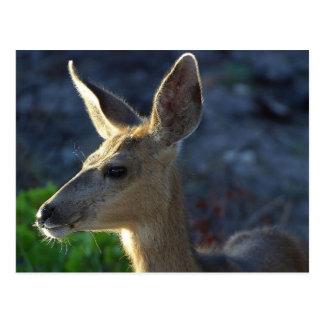 Cartão Postal Cervos de WhiteTail