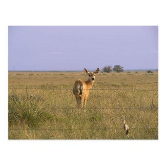 Cartão Postal Cervos que olham para trás