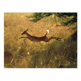 Cartão Postal Cervos que pulam através do campo