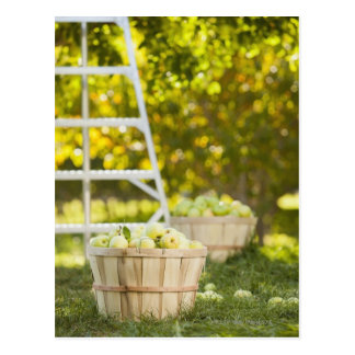 Cartão Postal Cestas das maçãs no pomar