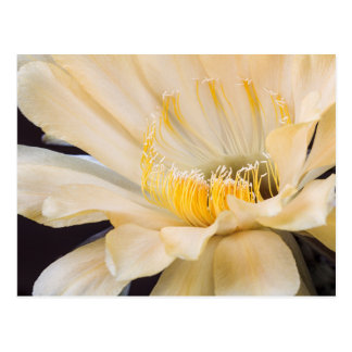 Cartão Postal Charlemagne Echinopsis na flor