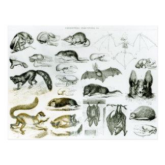 Cartão Postal Cheiroptera, Insectivora