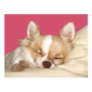 Cartão Postal Chihuahua de cabelos compridos