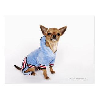 Cartão Postal Chihuahua do Teacup