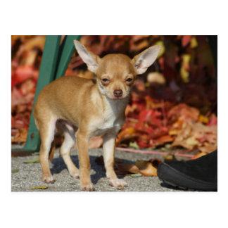 Cartão Postal Chihuahua doce de Charlie
