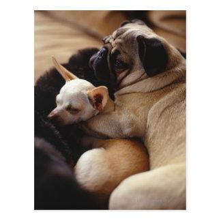Cartão Postal Chihuahua e Pug que dormem, fim-acima