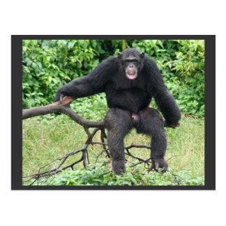 Cartão Postal Chimpanzé em Uganda
