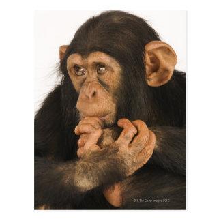 Cartão Postal Chimpanzé (troglodytes da bandeja). Playfull novo