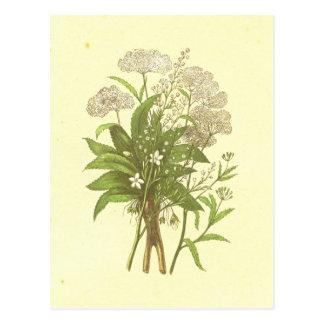 Cartão Postal Cicuta, Mandrake & litografia do vintage do