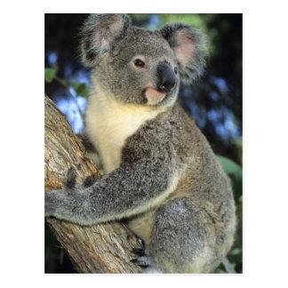Cartão Postal Cinereus do Koala, do Phascolarctos), Austrália,
