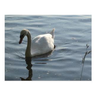 Cartão Postal cisne branco