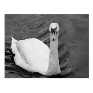 Cartão Postal Cisne curiosa