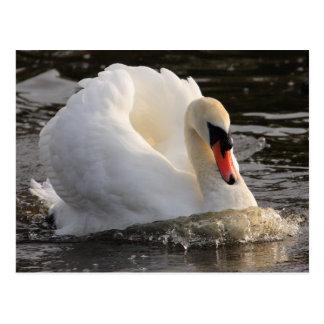 Cartão Postal Cisne de Busking