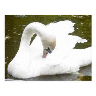 Cartão Postal Cisne do lago