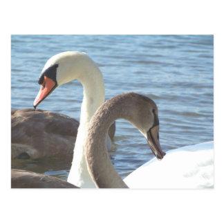 Cartão Postal Cisnes