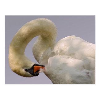 Cartão Postal Cisnes mudas e patos