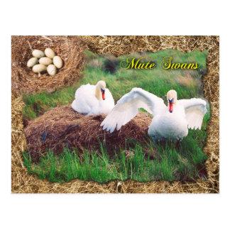 Cartão Postal Cisnes mudas que guardam o ninho, Maryland