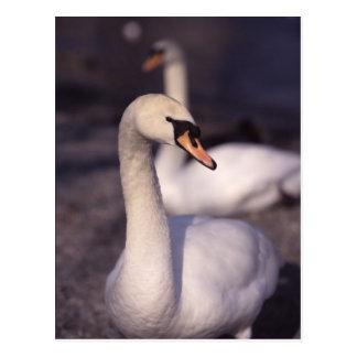 Cartão Postal Cisnes no lago Windermere