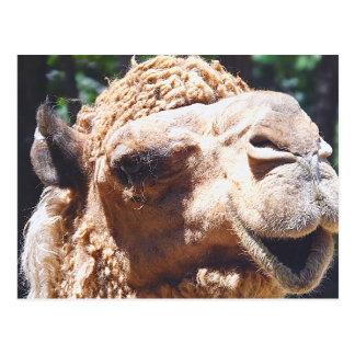 Cartão Postal Close up da cara do camelo da corcunda do
