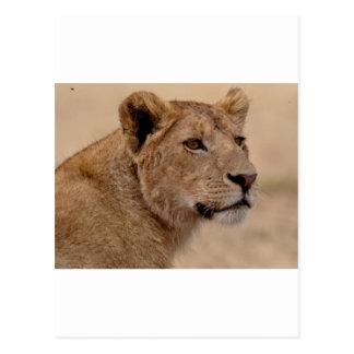 Cartão Postal Close up principal da leoa