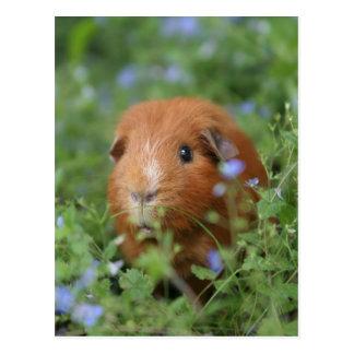 Cartão Postal Cobaia peluches bonito do gengibre fora na grama