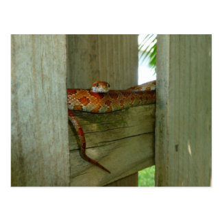 Cartão Postal cobra de rato vermelho na cabeça da cerca acima