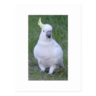 Cartão Postal Cockatoo