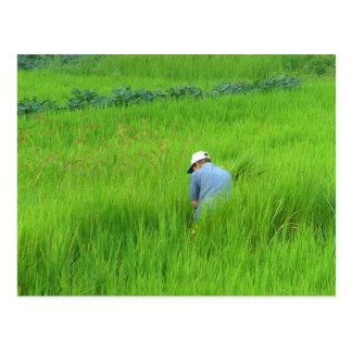 Cartão Postal Colheita do arroz em Waegwan, Southkorea
