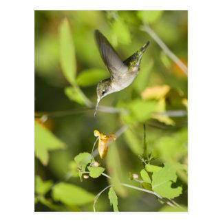 Cartão Postal Colibri nos Wildflowers