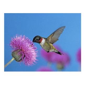 Cartão Postal colibri Rubi-throated, Archilochus 4