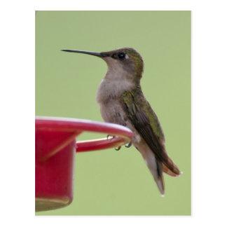 Cartão Postal Colibri Rubi-Throated fêmea