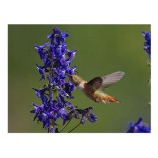 Cartão Postal Colibri Rufous, rufus de Selasphorus, fêmea